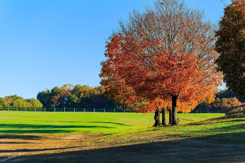 Fall tree in Northern Virginia
